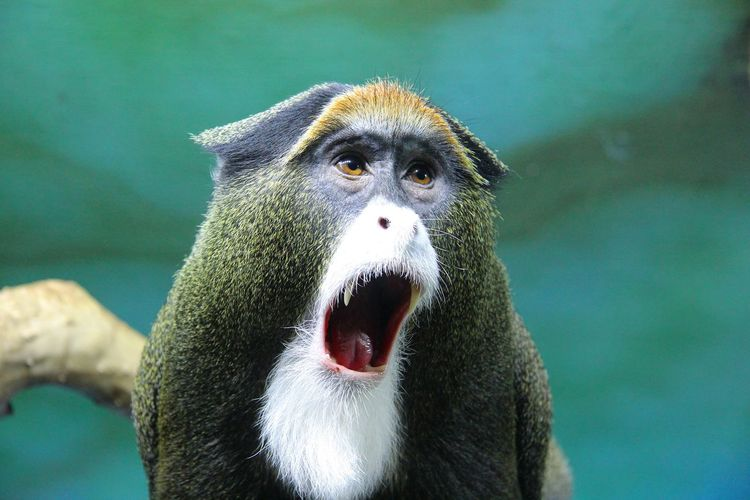 Close-up of monkey yawning