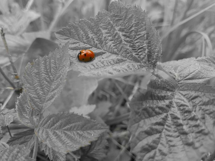 The Great Outdoors - 2017 EyeEm Awards Black And White With A Splash Of Colour Tiny Ladybug Ladybug🐞 Ladybugs Photography Nature Insect Poppy Beauty In Nature 😚 Getting Inspired Capture The Moment Best Of EyeEm EyeEm Nature Lover Eye4photography  Eyem Nature Collection EyEmNewHere Simple Photography Eyem Best Edits EyeEm Nature Photography Outdoor Photography EyeEm Gallery EyeEm Best Shots EyeEm Masterclass