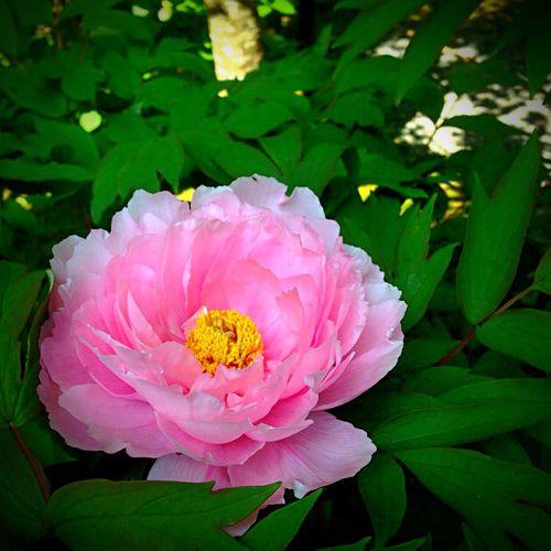 Kyoto Japan Sanzenin Sanzen In Peony  Flower Today 京都 日本 大原三千院 牡丹 今日 花