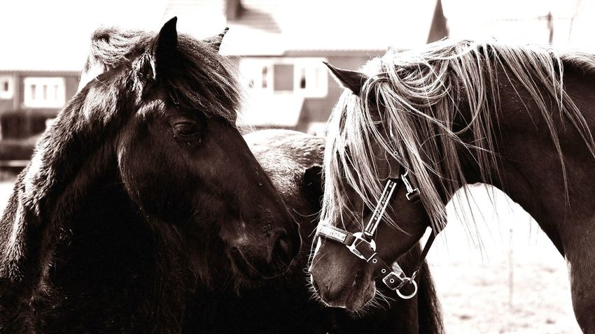 Horses Friends Monochrome Animals 98mm F/5 1/640s ISO 320 Nikon D5000 Lithography edit with Capture NX2 Nikon Captured Moment 16/9