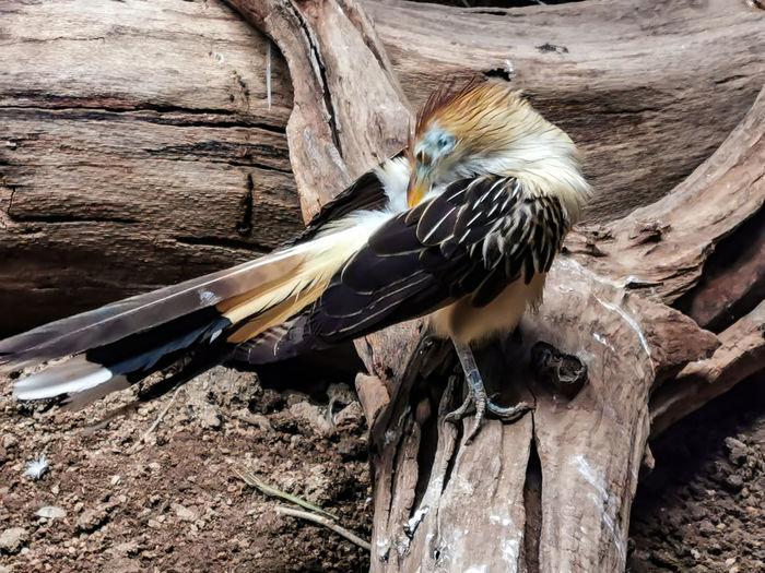 Cuckoo Wildlife