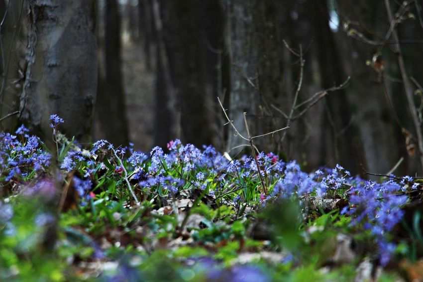 Spring Spring Flowers Springtime Beauty In Nature Flower Nature Flower Collection Naturelovers Nature_collection Beautiful Nature Flower Photography Beauty Of Nature Spring Is In The Air Spring Photography Spring Colours Nature Photography Flowers Naturephotography Blue Flowes Forest