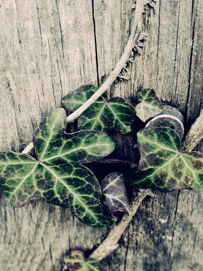 Beauty Is Everywhere  Tranquillity No People Ivy Leaves Home Sweet Home ♥ Austria Styria 💚 Photgraphyislifee Leaf Plant Growth Day Nature Outdoors Close-up Freshness Beauty In Nature