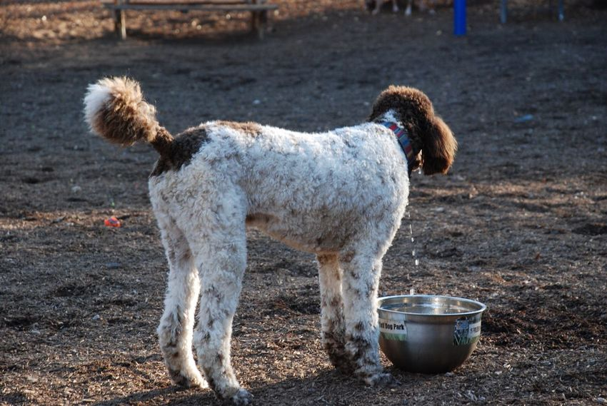 EyeEm Selects EyeEmNewHere Dog Domestic Animals Animal Themes Pets One Animal Mammal Standing Day Outdoors No People Standard Poodle Poodle Pet Park
