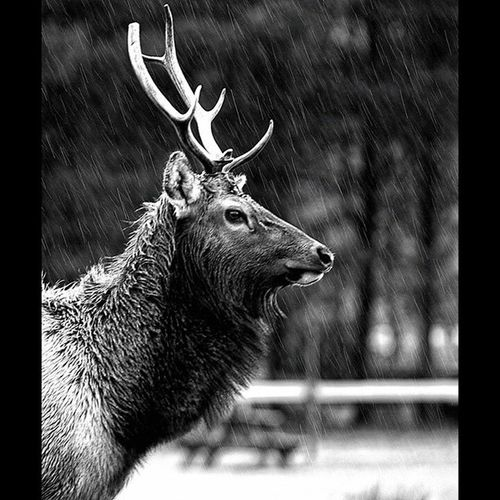 Stoic in the storm. Taken near OricCA . Norcal Stoicism Blackandwhite Bwstylesgf Gf_daily Global_family Wildlife Wildsights Wilderness Camping Deer Antlers California Instahike