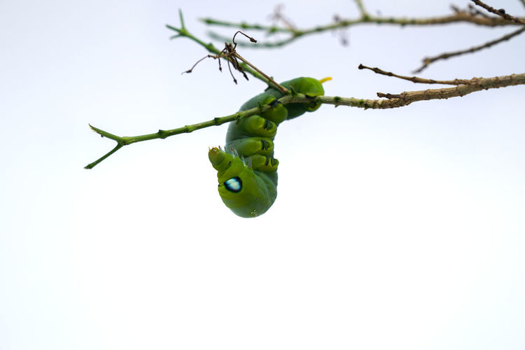 Plant Green Color Branch No People Tree Food And Drink Close-up Food Nature Growth Copy Space Healthy Eating Freshness Sky Day Clear Sky Fruit Outdoors Beauty In Nature Plant Part Caterpillar Caterpillars🐛🐛clinging Caterpillar Photography Butterfly