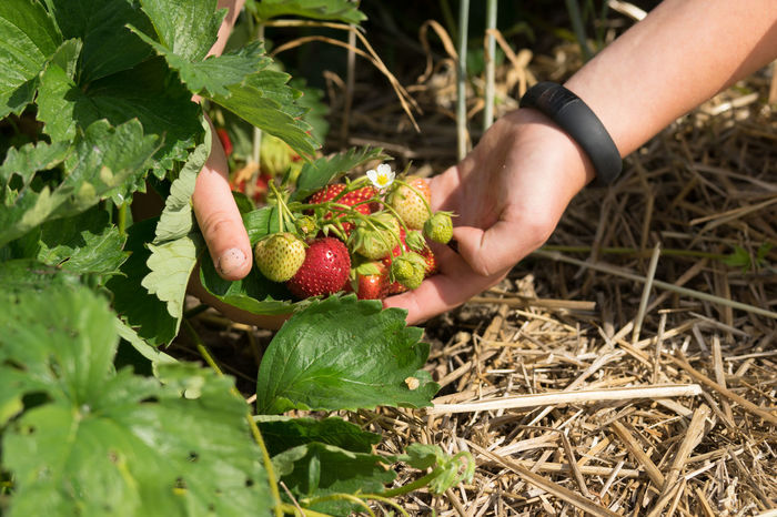 Strawberry Picking Season Farm To Table Field Food Food And Drink Freshness Fruit Green Color Hands Healthy Eating Holding Leaf Plant Ripe Strawberries Strawberries On The Vine Strawberry Strawberry Plant