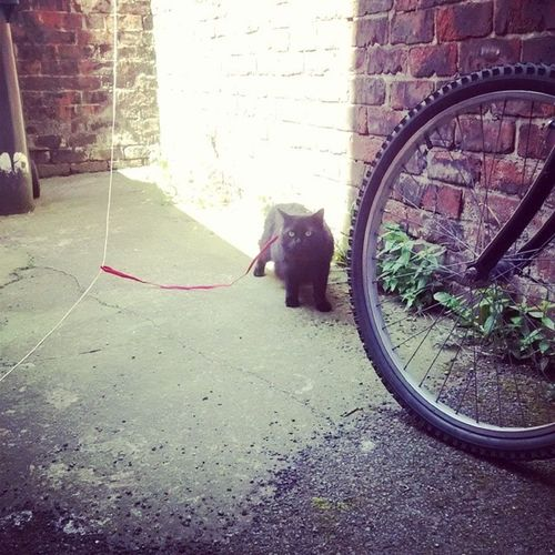 Cat on a lead, longest he's ever spent outside since birth Stupidcat