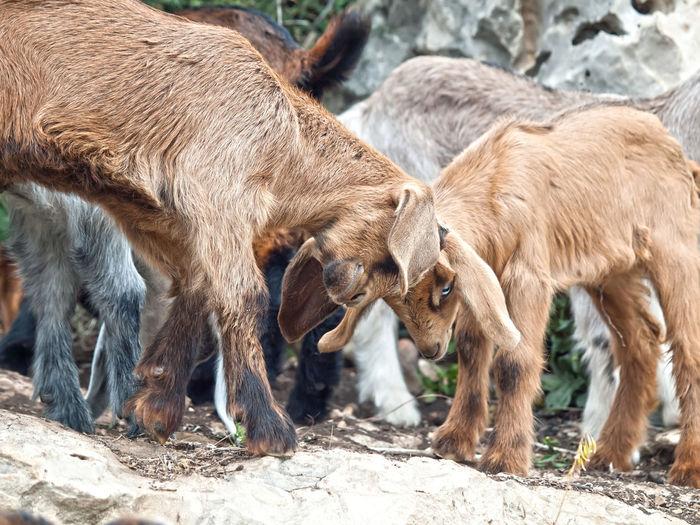 Kid goats fighting on field