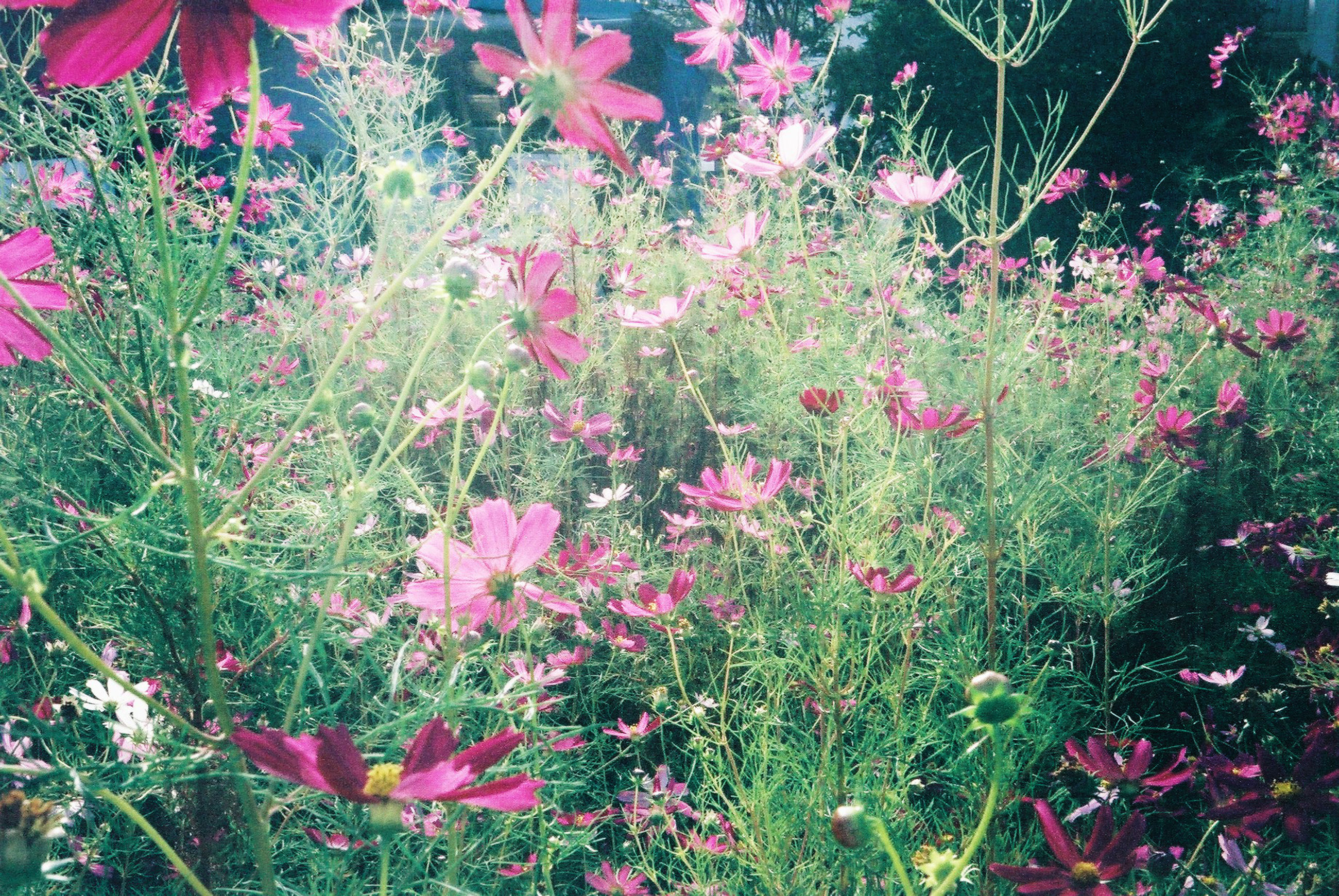 growth, pink color, nature, tree, no people, flower, beauty in nature, green color, plant, outdoors, day, close-up