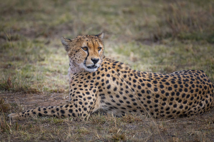 Cheetah relaxing on field