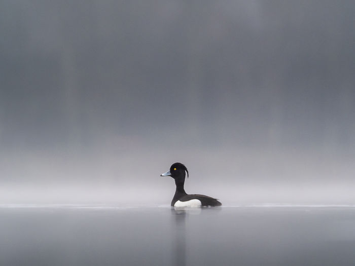 Animal Animal Themes Animal Wildlife Animals In The Wild Beauty In Nature Bird Copy Space Day Duck Fog Full Length Germany Lake Male Nature No People One Animal Outdoors Sea Side View Tranquility Tufted Duck Vertebrate Water Waterfront