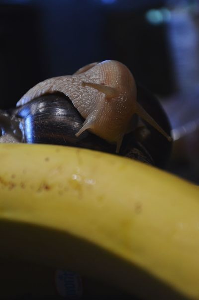 Pet Portraits Snail Snail🐌 Snail Collection Snail Photography Alien Banana Snails Snails🐌 Achatina Achatina Fulica