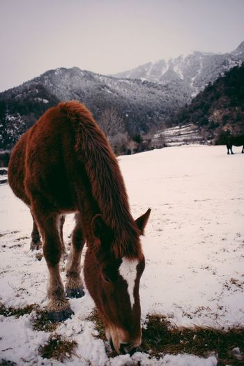 Horse grazing in snow covered field