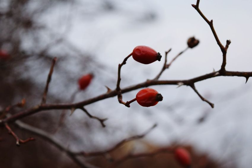 Hagebutten Fruit Red Winter Selective Focus Beauty In Nature Close-up Red From My Point Of View Cold Temperature Winter 2017 Bokeh February 2017 Low Angle View How Is The Weather Today? Outdoors