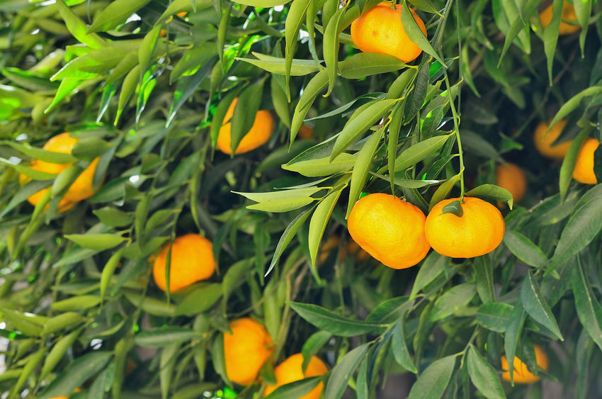 Growth Orange Color Green Color Nature Freshness Beauty In Nature Citrus Fruit No People Fragility Flower Close-up Fruit Outdoors Day Leaf Plant Mandarins Food And Drink Food Vitamin Mandarin Tree