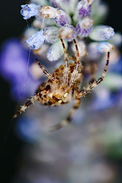 EyeEm Selects Close-up No People Hanging Fragility Day Nature Beauty In Nature Animal Themes Spider Arachnid Lavender