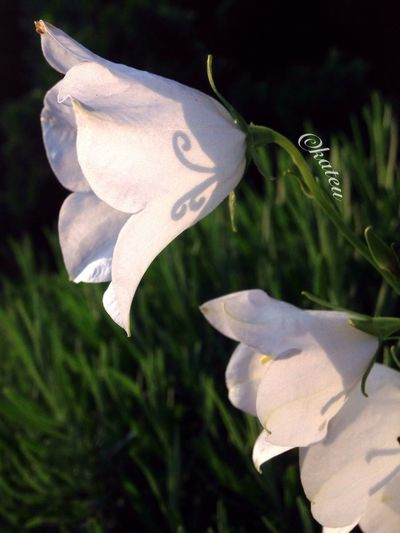 Clochettes Campanules Blanc White White Flower Clochette Transparent Silhouette_collection Contre-jour Nature Photography Nature_collection