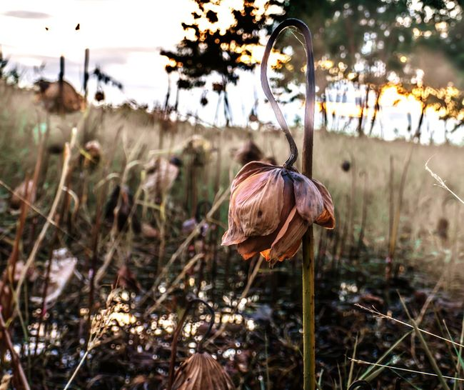 Flower Lotus Lotus Death Wither EyeEm Selects Nature No People Day Outdoors