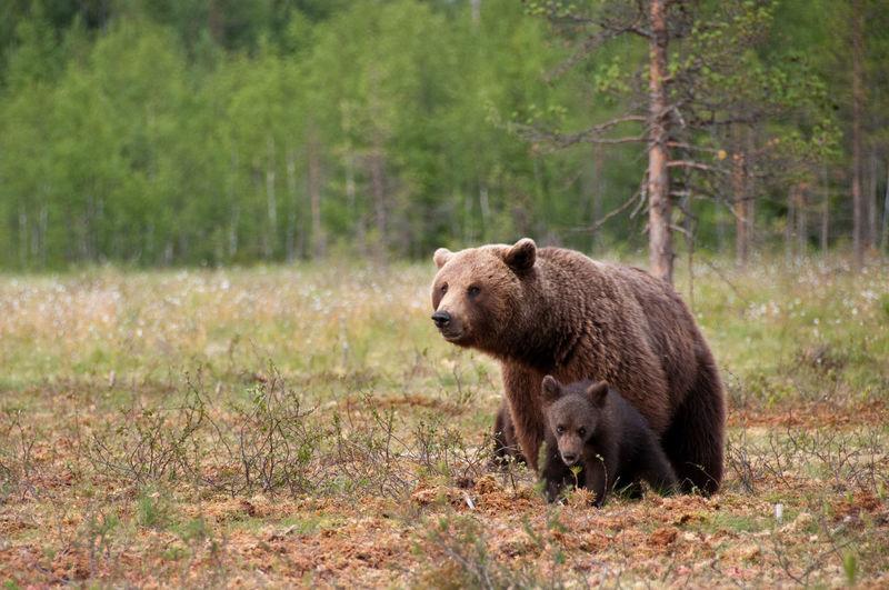 Bears on field in forest