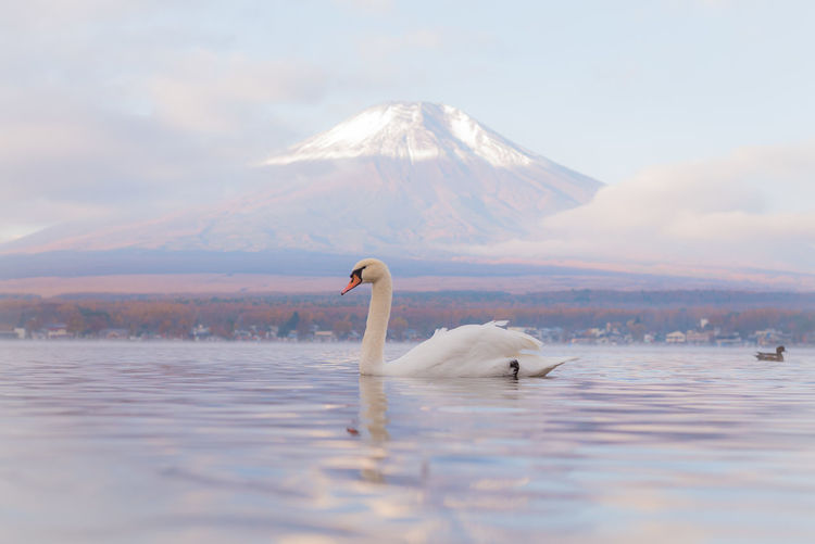 Swan swimming in lake against mountain during foggy weather