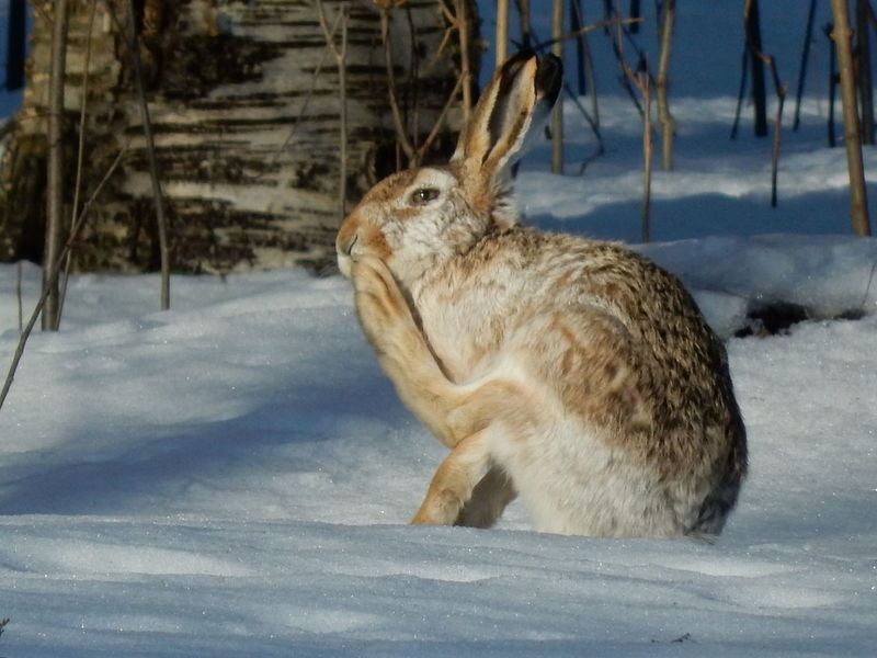 Animal Themes Cold Temperature Looking Away Nature One Animal Outdoors Rabbit Snow Winter