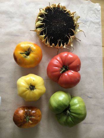 EyeEm Selects Before the End of Summer Food Close-up No People Heirloom Tomatoes Sunflower Head