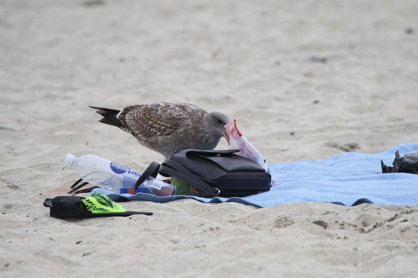 Animal Themes Animals In The Wild Beach Bird California Curious Day Nasty No People Outdoors Sand Seagull Stealing Summer Thief