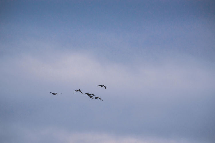 Canada Coast To Coast Geese Geese Family Canadian Geese Flying Sky Animal Themes Animals In The Wild Group Of Animals Animal Bird Vertebrate Animal Wildlife Low Angle View Flock Of Birds No People Nature Mid-air Motion Cloud - Sky Blue Day Beauty In Nature Spread Wings Outdoors