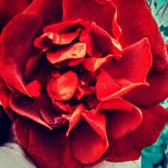 My Beautiful Red Rose🌹 FlowerRed Close-up No People Flower Head Flower Rosebushes Outside Photography Beauty In Nature NewEyeEmPhotographer Blooming Flower Freshness Nature Day Rose🌹 Redrose  Outdoor Photography ColorRed Rosebush Outdoors EyeEm Best Shots Eye4photography Beauty Freshness Flower Yellowrose Blooming Daytime Photography Summertime🌼🍃🌺🌷☘️🌿😍✨ Beauty