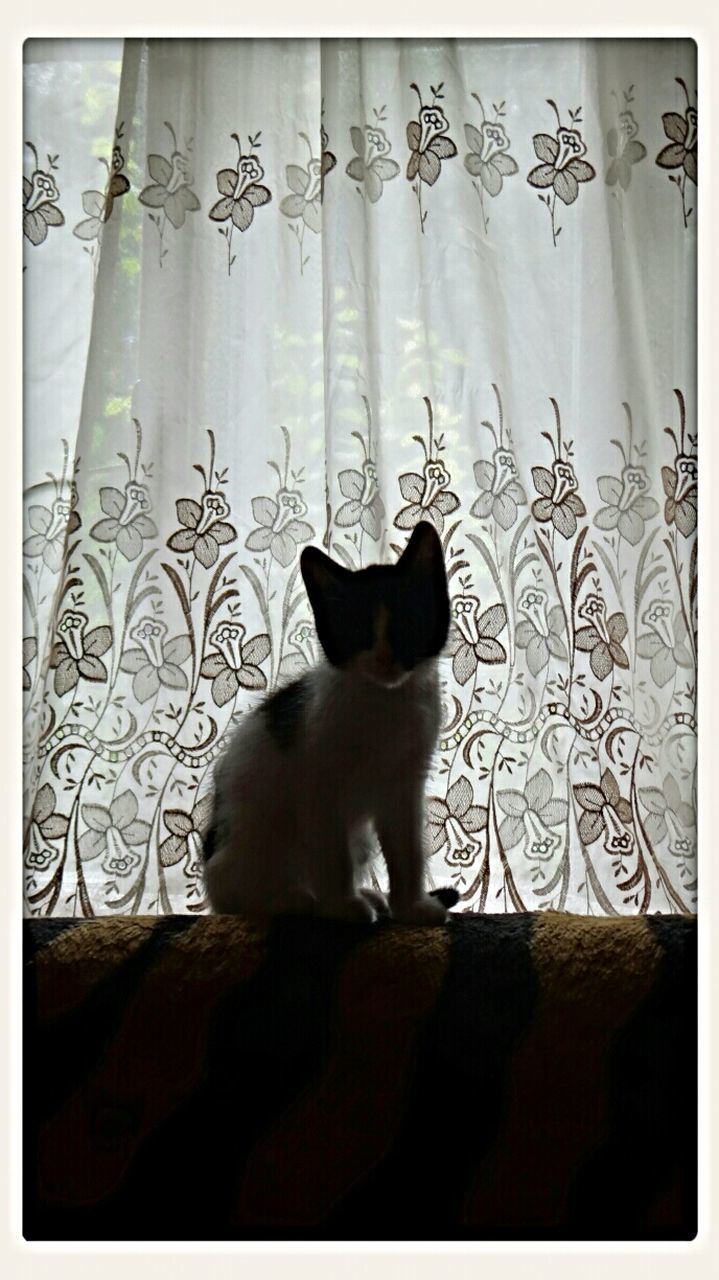 domestic cat, pets, cat, one animal, feline, animal themes, domestic animals, mammal, curtain, sitting, drapes, no people, indoors, home interior, siamese cat, day, portrait