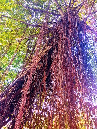 Root Roots Roots Of Tree Root Of A Tree Root Of The Tree Root Of Tree Beautiful Tree Tree View Tree Photography Tree_collection  Color Of Tree Beauty Of Nature Tree Nature