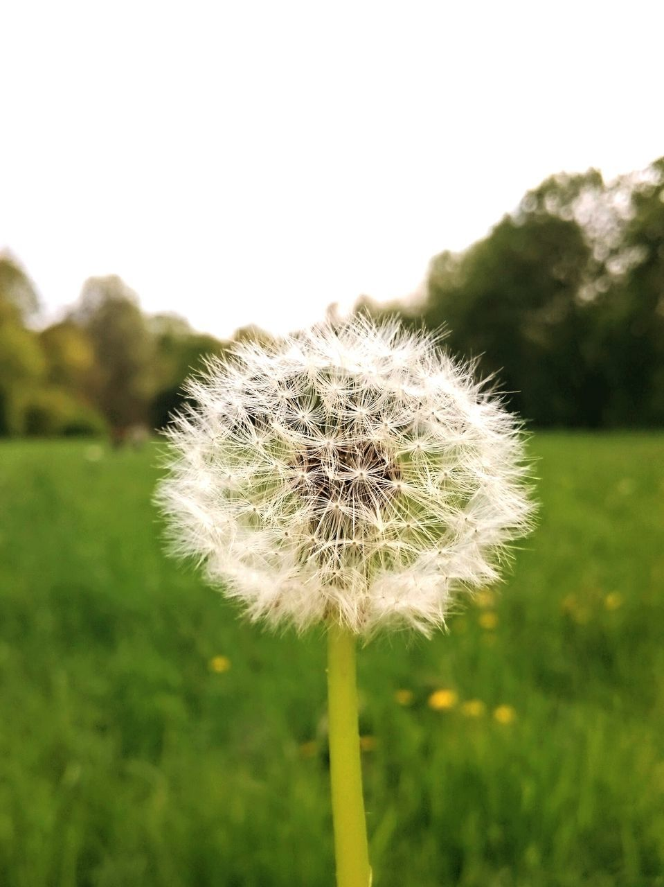 flower, growth, dandelion, nature, fragility, beauty in nature, focus on foreground, plant, freshness, close-up, green color, flower head, day, field, outdoors, grass, no people