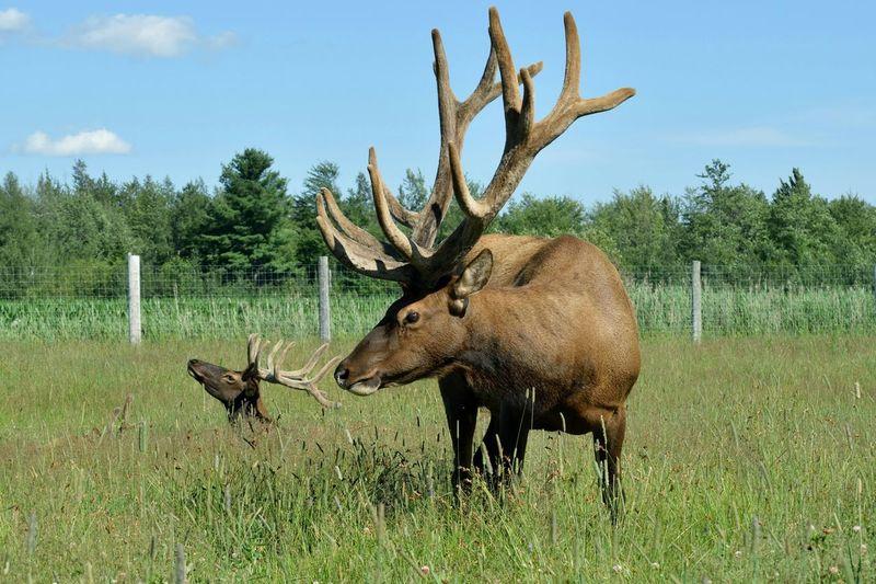 Elk Outdoors