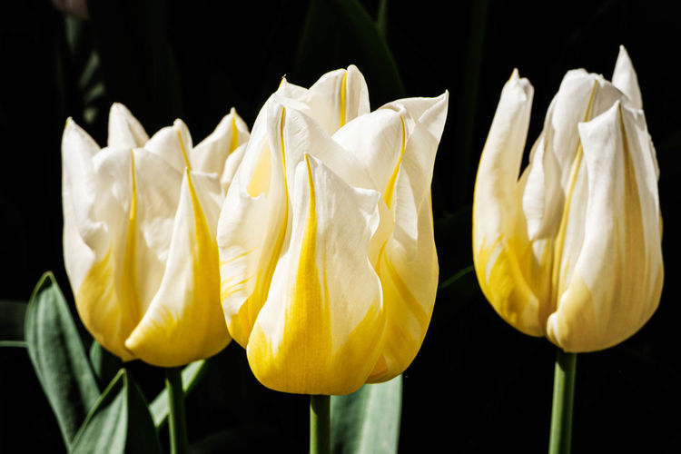 Close-up of yellow tulips against black background