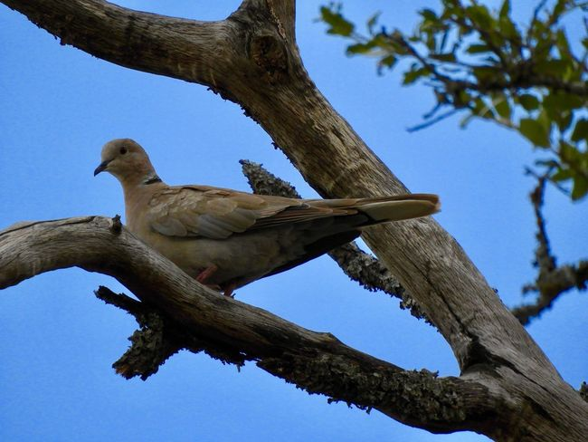 Dove and blue sky Tree Plant Low Angle View Sky Branch Vertebrate Animal One Animal Bird Blue No People Outdoors Tree Trunk Nature Animals In The Wild Animal Themes Animal Wildlife Clear Sky