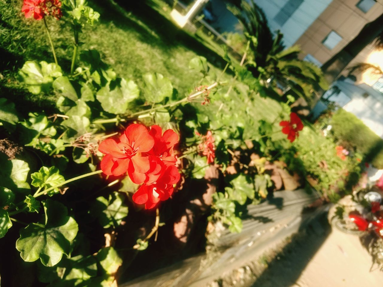 flower, growth, plant, nature, beauty in nature, red, fragility, outdoors, petal, no people, flower head, day, blooming, freshness, building exterior, close-up