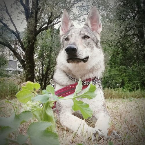 Athenawolfdog Canelupocecoslovacco Lupocecoslovacco Hello World Taking Photos Relaxing Loboceco Cechoslovakianwolfdog Czechwolfdog Wolfdog