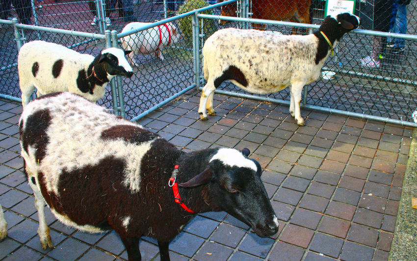 Goats at Lonsdale Quay in North Vancouver B.C. on family day. North Vancouver B.C. Lonsdale Quay Animals Family Day Domestic Animals Animal Themes Mammal Dog One Animal Pets Day Livestock No People Standing
