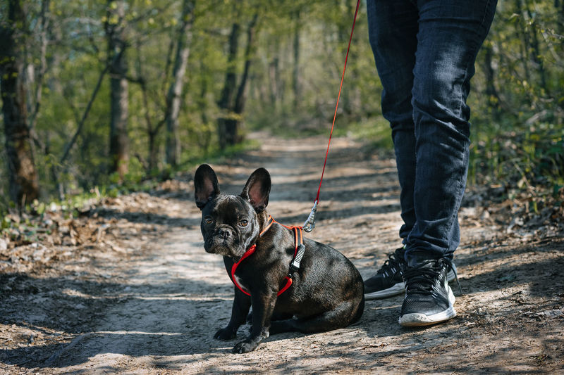 Springtime Spring Pet Portrait Nature Forest Forest Path Path Trees Frenchbulldog French Bulldog Frenchie Looking At Camera Animal Themes Animal One Animal Pet Low Section Pets Dog Standing Portrait Pet Leash Purebred Dog Pet Equipment Leash Obedience Bulldog French Bulldog Pet Owner