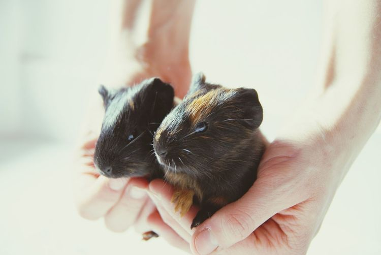Cropped hands holding guinea pigs