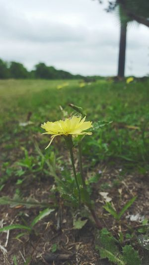flower Growth beauty in Nature fragility Field Green color outdoors flower head petal yellow Freshness Beautiful such beauty focus on foreground 🌼☘️ Field Green Color Outdoors Flower Head Petal Yellow Freshness Beautiful Such Beauty Focus On Foreground Plant Beauty In Nature Vulnerability  Growth No People Freshness Close-up Day Field Nature Flowering Plant Green Color Land