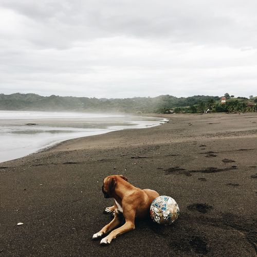 Boxer (dog) with his football on a black lava beach, Playa Venao, Panama. Boxer Football Square Waiting Animal Themes Beach Cloud - Sky Day Dog Domestic Animals Full Length IPhoneography Lava Mammal Mobile Photography Nature No People No People, One Animal Outdoors Pets Sky Travel Destinations Water Weimaraner
