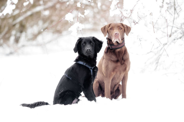 A labrador and a puppy are playing in the snow Bereed Black Breed Cold Cute Dog Dogs Domestic Family Friend Happy Labrador Labrador Retriever Mammal Obedient Dog Outdoor Pet Playful Playing Puppy Purebred Retriever Season  Snow Two Dogs White Winter Canine Pets Domestic Animals Vertebrate Animal Themes Animal One Animal Cold Temperature Nature Land Tree Field No People Snowing