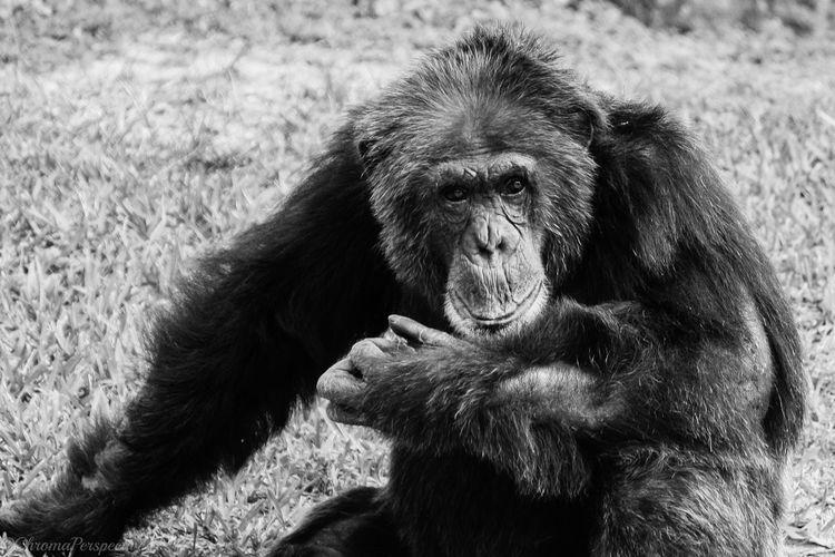 Close-up of a gorilla