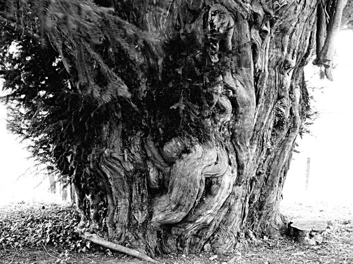 Largest Tree Trunk In The Uk Tree Tree Trunk Black And White Texture And Surfaces Growth Nature Beauty In Nature Wonder Of Nature Photography Shadows & Lights