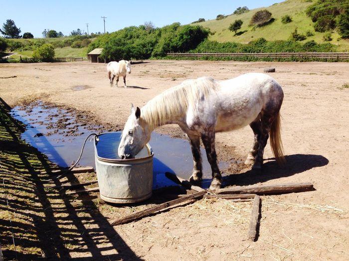 Draft Horses White Horse Thirsty  Trough Corral Horses Wilder Ranch State Park Wilder Wilder Ranch Santa Cruz California United States