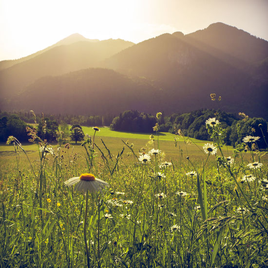 Blooming herbs in a field with mountains of the bavarian alps in the background with the peack of Wallberg mountain. Scharling, Bavaria, Germany, June 2019 Germany Tergernsee Wallberg Beauty In Nature Plant Environment Tranquility Landscape Growth Scenics - Nature Tranquil Scene Land Field Nature Sky Mountain No People Outdoors Bavaira Bavarian Alps Bavarian Landscape Herbs Blooming Flowering Plant Mountain Range Sunlight Flower Vertebrate Lens Flare