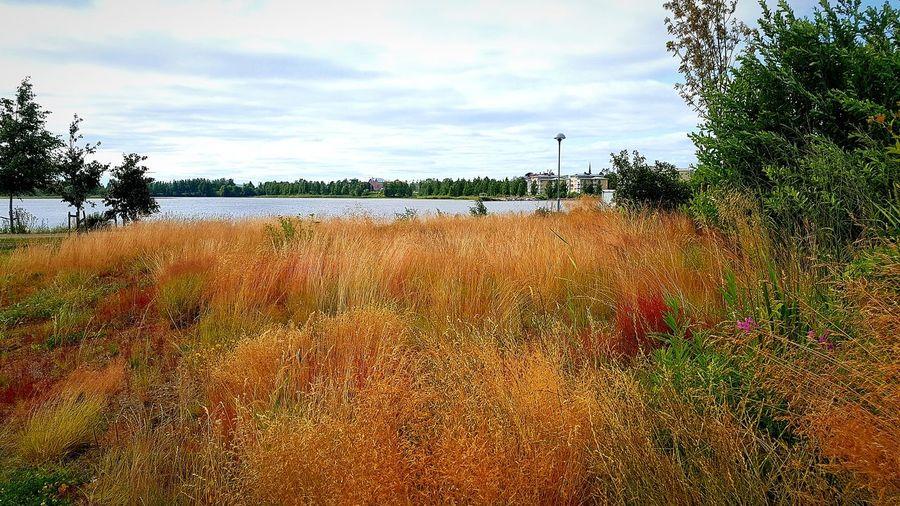 windblown grass