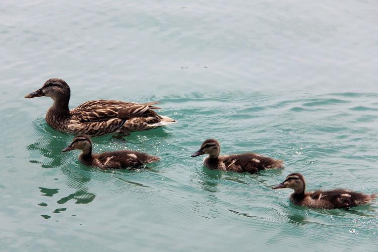 Lago Di Garda Blue Water Lake Italy Duck Family Duck Baby Ducks Duck Enten Enjoying Life